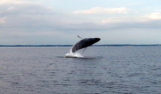 Ein Buckelwal springt in der Sonderburger Bucht in der Flensburger Außenförde. Weitaus mehr freuen sich die Tiere in 240 Metern Tiefe über das frische Wasser für die Ostsee, das endlich den Schwefelwasserstoff verdrängt.