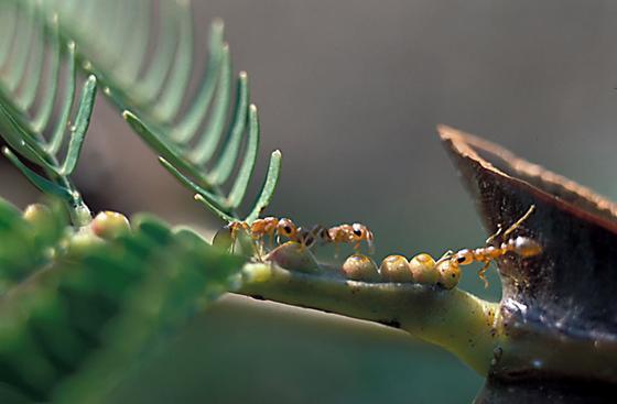 """Ameisen essen die Nektar-Mixtur einer mexikanischen Akazienart: Bei ihrem Nestbau lecken die Insekten an Silikaten, um Baumaterial für ihre Nester zu erhalten, vermuten die Forscher. In den entstehenden Carbonaten ist CO<custom name=""""sub"""">2</custom> gebunden."""
