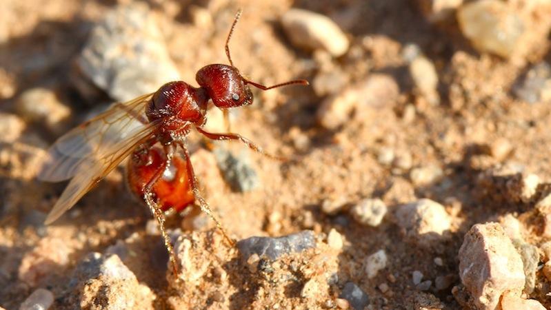 Es könnte auch sein, dass die Ameisen Silikate verdauen und die Ausscheidungen als Baumaterial nutzen. In diesem Fall wären sie eine Art lebende Betonmischmaschine.