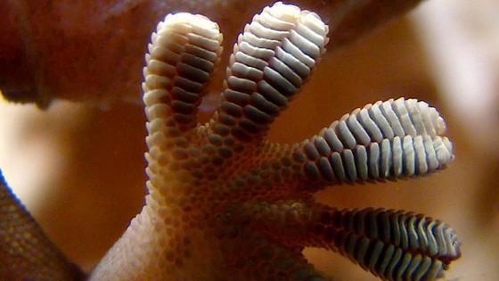 Wenn der Gecko den Winkel der Hafthaare nur einen kleinen Tick verändert, schaltet sich die Haftkraft wieder aus und das Tier kann die Füße federleicht nach vorne setzen. Wie eine zurückschnellende Feder geben ihm die Härchen beim Loslösen zudem Energie.