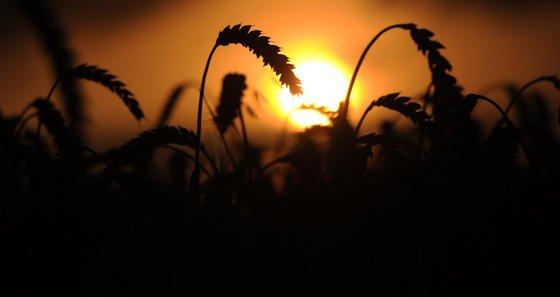 Weizenähren wiegen sich auf einem Feld in Hannover im Wind. Weizen gehört zu den C3-Pflanzen, die Kohlendioxid schlecht binden können. Bei hoher Konzentration sinkt der Proteingehalt laut Studie deutlich.