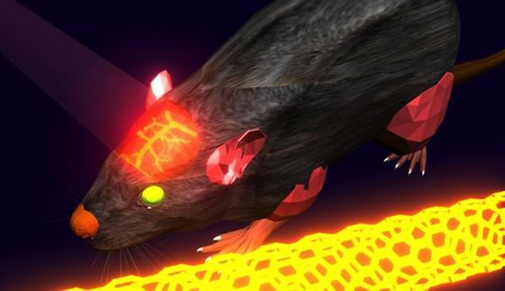 Forscher der amerikanischen Stanford Universität haben ein Verfahren entwickelt, mit dem die Blutzirkulation im Gehirn eines lebenden Wesens gut sichtbar zu machen ist. Dabei kommenLaser und Kohlenstoff-Nanoröhrchen zum Einsatz.