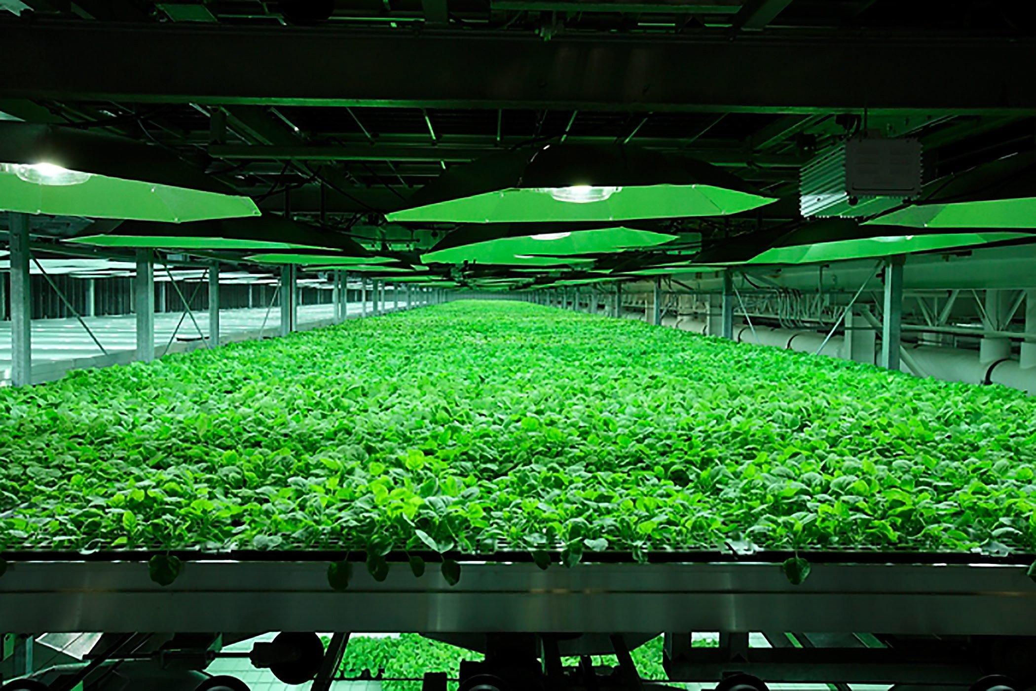 In Tabakpflanzen wird das neue Medikament ZMapp hergestellt, das jetzt 18 an Ebola erkrankte Rhesusaffen geheilt hat.