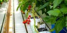 Tomate mit Fingerabdruck: Biobetrügern auf der Spur