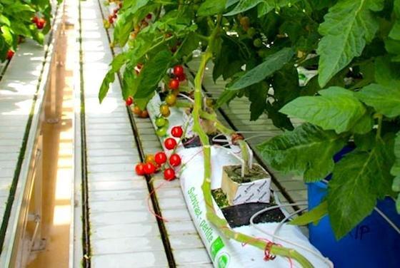 Tomaten im Gewächshaus der Bayerischen Landesanstalt für Wein- und Gartenbau (LWG) in Veitshöchheim: Forscher der Uni Würzburg haben konventionelle und Bio-Tomaten per Magnetresonanz-Spektroskopie untersucht und dabei deutliche Unterschiede festgestellt.