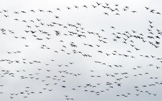 Zugvögel am Himmel über dem Landkreis Oder-Spree nahe Jacobsdorf (Brandenburg): Der Orientierungssinn von Zugvögeln wie Rotkehlchen, die nah am Menschen leben, kann durch Elektrosmog beeinträchtigt werden. Das haben jetzt Forscher der Universität Oldenburg herausgefunden.