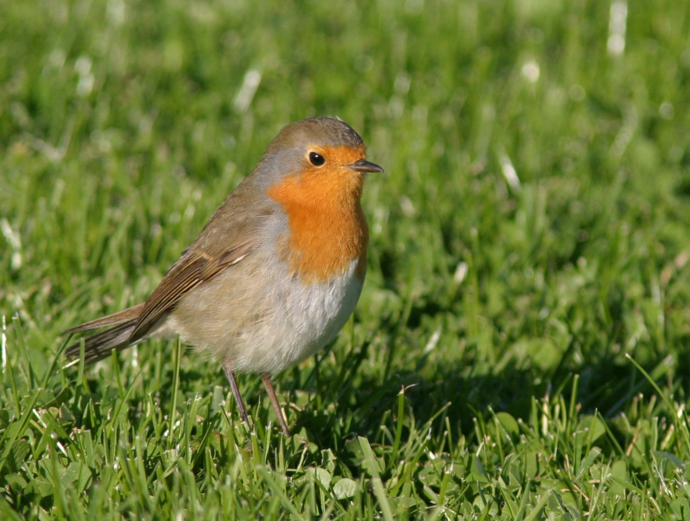 Rotkehlchen: Elektrogeräte und Elektromotoren können das elektromagnetische Feld der Erde überlagern, an dem sich Zugvögel wie das Rotkehlchen orientieren.