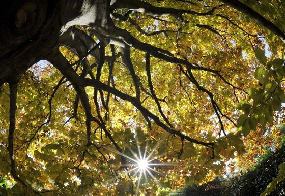 Die Sonne scheint in Düsseldorf durch die Blätter einer fast 100-jährigen Buche: Diese Baumart wächst seit den 1960er Jahren 77 Prozent schneller. Fichten haben um 33 Prozent zugelegt.