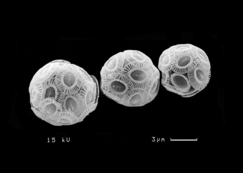 Meister der Anpassung: Zellen der wichtigsten einzelligen Kalkalge der Weltozeane, Emiliania huxleyi.