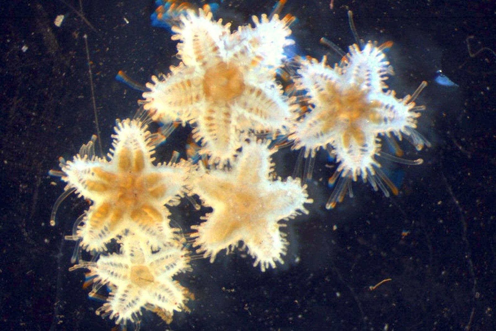 Junge Seesterne aus der Ostsee im Labor des GEOMAR Helmholtz-Zentrum für Ozeanforschung Kiel: Bei zunehmender Versauerung des Meeres wachsen Seesterne langsamer.
