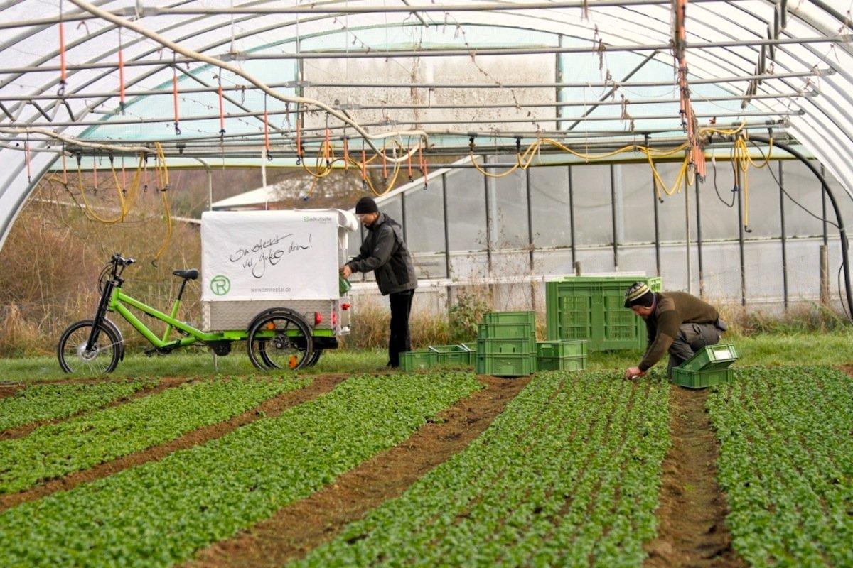 Lastentransport direkt vom Feld zum Verbraucher: Das Lastenrad kann sogar ins Gewächshaus hineinfahren und den frischen Salat verladen.