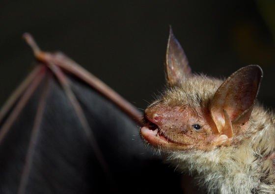 Eine Fledermaus der Art Großes Mausohr: US-Forscher haben herausgefunden, dass bestimmte Fledermaus-Arten Windräder mit großen Bäumen verwechseln können.