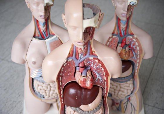 Organspenden: Dank einer neuen Technik beim Transport von Spendenherzen, können künftig etwa 30 Prozent mehr Transplantationen vorgenommen werden.