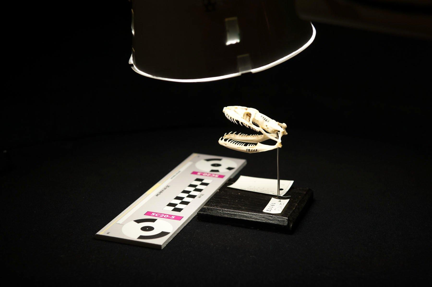 Auch kleine Objekte wie dieser Schlangenschädel wurden im neuen 3D-Scanner desFraunhofer-Instituts für Graphische Datenverarbeitung in Darmstadt im Berliner Museum für Naturkunde gescannt.