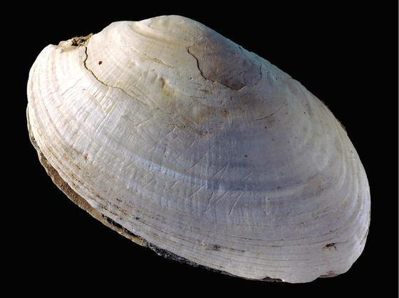 Die Gravuren sind lange unentdeckt gewesen:Die Muschelschalen wurden 1890 in Trinil auf Java von dem niederländischen Arzt und Forscher Eugène Dubois gefunden.
