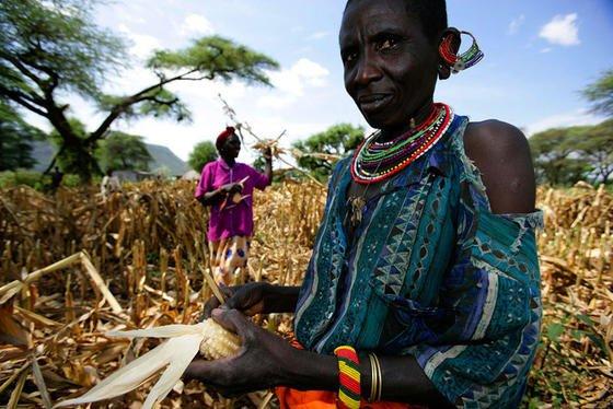 Geringere Maisernte in Kenia: Zunehmende Trockenheit aufgrund des Klimawandels wird in Zukunft zu starken Ernteeinbußen führen.