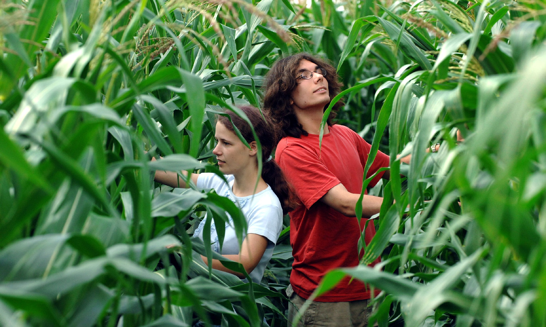 Maisanbau in Brandenburg. Die Pflanzen werden zu Tierfutter verarbeitet.