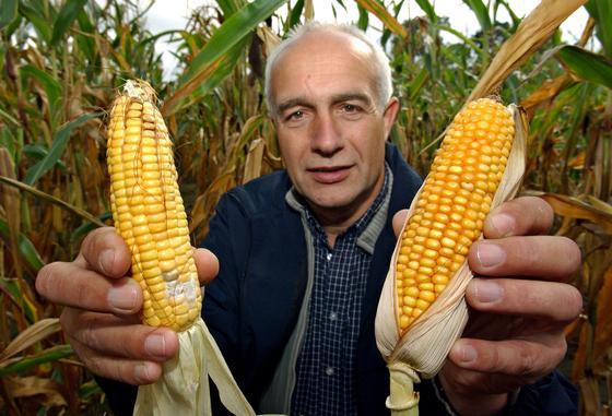 Ein Landwirt zeigt Maiskolben die bereits Schimmel angesetzt haben. Doch nicht alle Pilzgiftstoffe sind mit dem bloßen Auge erkennbar. Viele breiten sich auch unter der Oberfläche im Lebensmittel aus. Ein Schnelltest soll hier zukünftig Sicherheit geben.