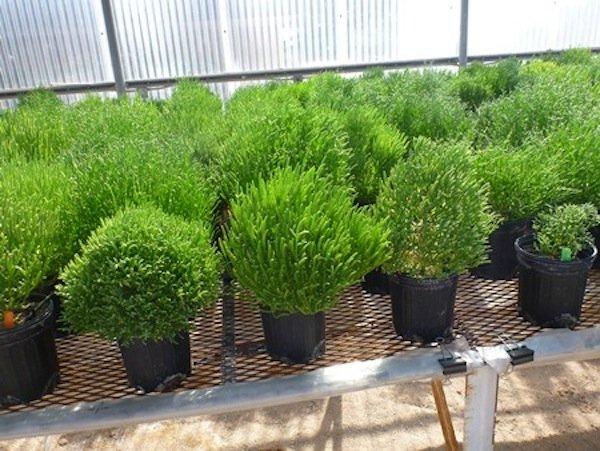 Halophyten (hier Salicornia) lassen sich einfacher in Biotreibstoff umwandeln als andere Pflanzen, mit denen bisher geforscht wurde.