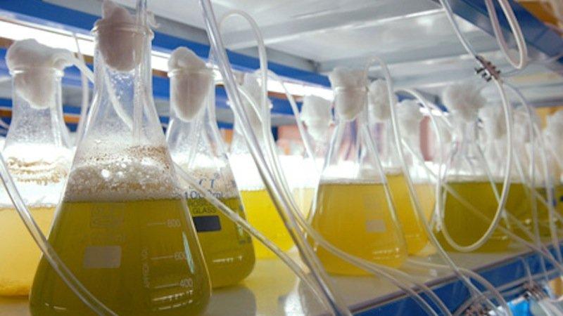 Das in Abu Dhabi im Labor entwickelte Flugbenzin aus Salzpflanzen soll jetzt in größeren Mengen produziert werden.