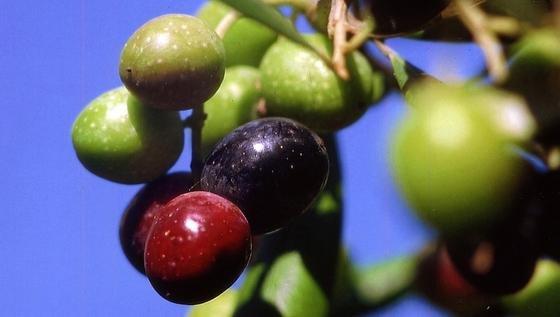 Im Inneren der Oliven befinden sich begehrte Aromastoffe, die mit dem Trester bislang im Müll landen. Die Forscher des EU-Projektes wollen sie für die Kosmetikindustrie extrahieren und den Trester anschließend der Biogasproduktion zukommen lassen.