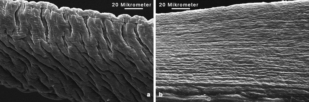 Rasterelektronenmikroskopische Aufnahme des proximalen (a) und distalen (b) Abschnitts eines Byssusfadens der Miesmuschel.