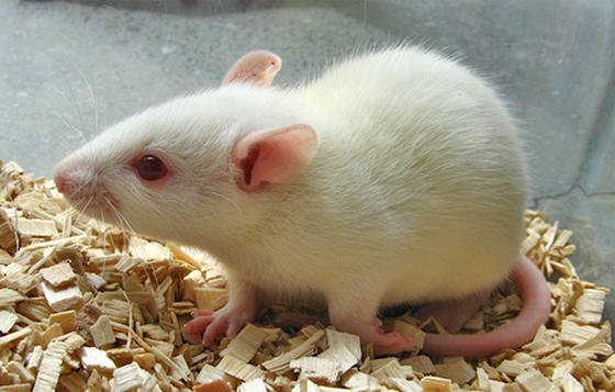 Jedes Jahr leiden Millionen Tiere bei Versuchen für verschiedene Industriebranchen. Das soll sich mit den Mini-Organen der Berliner Forscher ändern.