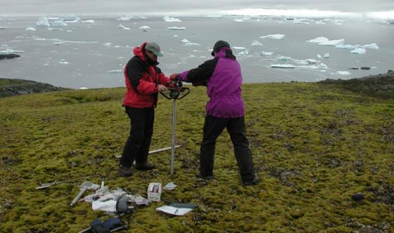 Im Spätsommer wurden auf der antarktischen Insel Signy Island Moosproben der Art Chorisodontium aciphyllum entnommen. Sie lagen dort etwa einen Meter tief im Permafrostboden.