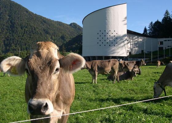 Kühe stehen auf einer Weide am Festspielhaus der Tiroler Festspiele Erl in Österreich: Jede Kuh produziert durchschnittlich 100 Kilo des Treibhausgases Methan im Jahr. Forscher suchen deshalb fieberhaft nach neuen Fütterungsmethoden, um die Gasproduktion in den Mägen der Tiere zu senken.