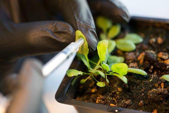 Nachdem die Forscher des MIT die Pflanze mit Nanoröhrchen versetzt hatten, stellten sie größere Lichtausbeute bei der Photosynthese und erhöhten Elektronenfluss fest.