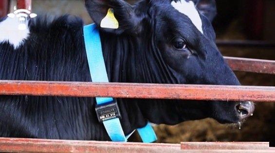 Eine Kuh mit dem Funkhalsband Silent Herdsman. Der Bauer kann den Standort des Tieres mit einer Antenne ausfindig machen und auf seinem Computer den Überblick über die Herde bewahren.
