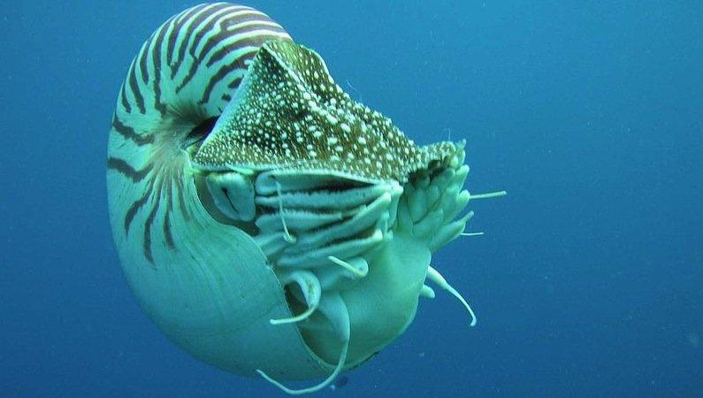 Die Nautilus-Muschel stand den Entwicklern Modell: Sie besteht aus mehreren spiralförmig angeordneten Kammern, die die Muschel mit Luft füllen kann, um ihren Auftrieb zu regeln.