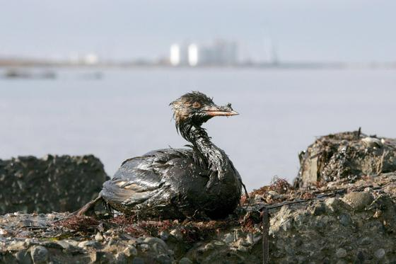 Ein ölverschmierter Vogel kämpft ums Überfolgen: Rostocker Forscher haben eine neue Methode zur Bekämpfung von Ölteppichen entwickelt. Dabei kommen biologisch abbaubare Binder und ölfressende Mikroorganismen zum Einsatz.