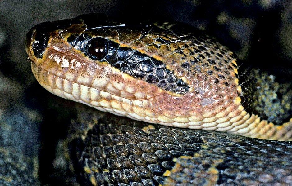 Die etwa 1,3 Meter lange Wasserschlange wurde im Ban Badan-Reservoir in der Provinz Nakhon Ratchasima in Thailand entdeckt. Sie jagt in der Nacht kleinere Fische.