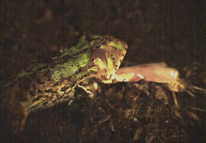 Standbild aus einer Hochgeschwindigkeits-Videoaufnahme: Beim Beutefang benutzen Frösche eine Klebezunge, die weit aus dem Maul herausgeschleudert werden kann.
