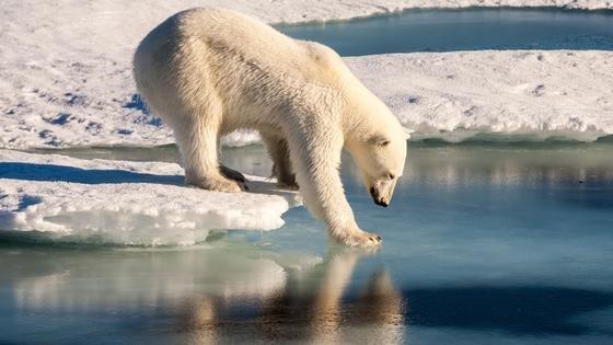 Das wird den Eisbären in der Arktis nicht gefallen: Selbst im arktischen Winter mit üblichen Temperaturen von minus 30 bis 40 °C soll das Thermometer über 0 °C steigen. Forscher erwarten, dass in den Silvestertagen die Temperatur um 50 Grad über dem üblichen Wert liegt.