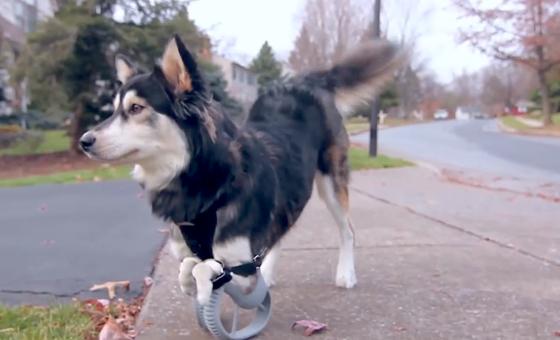Hund Derby ist mit deformierten Vorderpfoten geboren worden. Das kann er beim Laufen mittlerweile fast vergessen – dank seiner Prothesen aus dem 3D-Drucker, mit denen er täglich mehrere Kilometer zurücklegt.