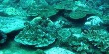 Kalte Dusche aus der Tiefsee hilft hitzegestressten Korallen