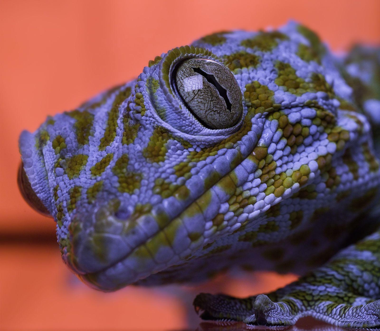 Forschungsobjekt Gecko: Mit der Haftkraft seiner Füße beschäftigten sich die INM-Forscher intensiv. Sie haben nach dem Vorbild der Natur dieso genannte Gecomer-Technik entwickelt, mit der sich empfindliche Bauteileunbeschädigt selbst im Vakuum transportieren lassen.