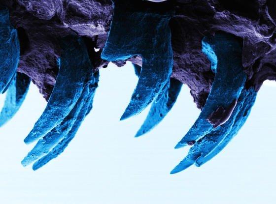 Gefährlicher Anblick: Die Zähne der Napfschnecke sind zwar winzig, aber enorm stabil.