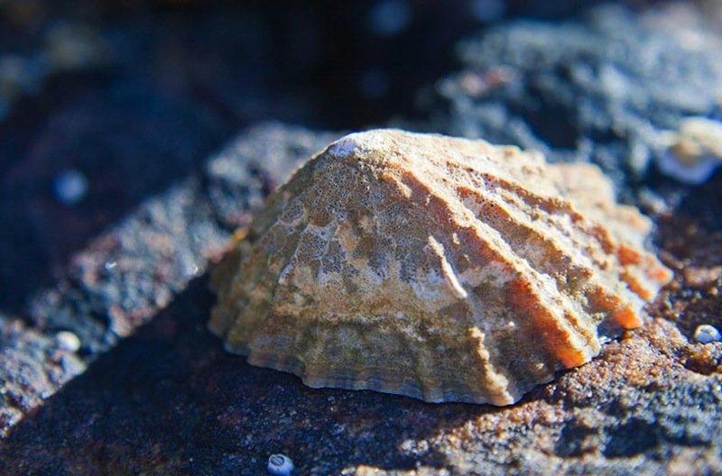 Napfschnecken leben in Brandungszonen, wo sie sich mit großer Kraft an Felsen festsaugen und mit ihrer zahnbewehrten Zunge Algenteppiche abgrasen.