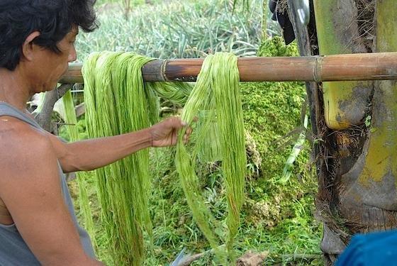 Die Blätter der Ananas werden auf den Philippinen nicht genutzt und verrotten üblicherweise auf den Feldern. Doch aus den Fasern der Blättern kann man Stoffe herstellen, die Leder ersetzen können.