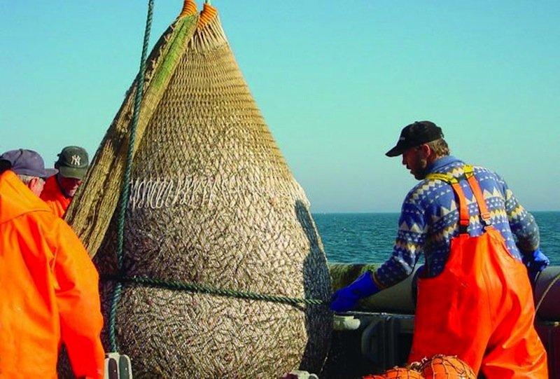 Fischer ziehen ein prall gefülltes Netz mit Heringen an Bord der Solea. Ihre regelmäßigen Untersuchungenzeigen über die Jahre die Entwicklung der Fischbestände und verbinden sie mit Daten über meeresphysikalische und meereschemische Vorgänge.