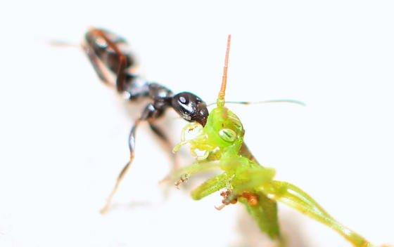 Eine Ameise transportiert ein totes Insekt: Leichen kommen der als überaus reinlich geltenden Ameise nicht ins Haus. Regensburger Forscher haben jetzt aber herausgefunden, dass Ameisen ihren Darm in ihrer Behausung entleeren und nicht in freier Natur.