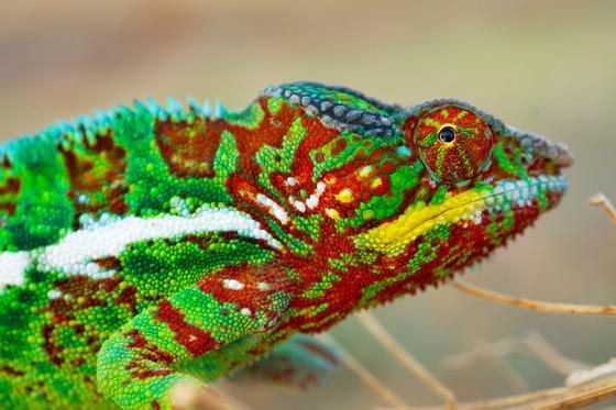 Ein männliches Pantherchamäleon sitzt auf einem Ast in Madagaskar. Ihre berühmten Farbwechsel erreichen Chamäleons nicht allein durch Veränderungen der Pigmente in den Hautzellen. Bestimmte Chamäleons erzeugen die spektakulären Farbenspiele mithilfe von Nanostrukturen, haben Wissenschaftler jetzt herausgefunden.