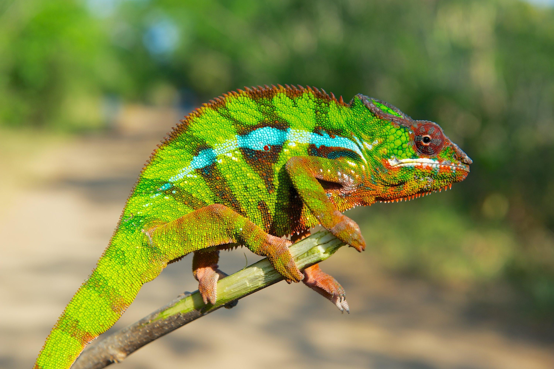 Das Pantherchamäleon kann mehr als grün – und nutzt den Farbwechsel für die Kommunikation. Wie dieser Mechanismus funktioniert, wollen die Forscher als nächstes herausfinden.