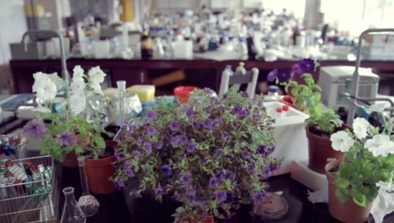 Amerikanische Forscher arbeiten an Blumen, die auf Kommando ihre Farbe wechseln können.