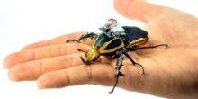 Forscher steuern fliegende Cyborg-Käfer mit Elektroschocks