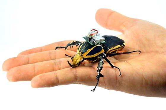 Der sechs Zentimeter lange Riesenkäfer (Mecynorrhina torquata) trägt Minicomputer, Funkgerät und Akku auf dem Rücken. Über elektrische Leitungen steuern die Forscher die Muskeln des Tieres.