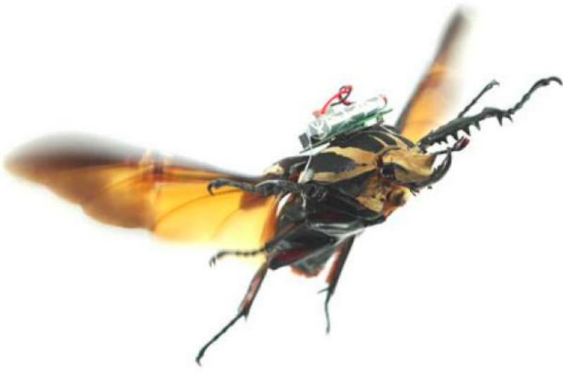 Die Forscher haben elektrische Leitungen zu den sogenannten 3Ax-Muskeln des Käfers gelegt. Mit Stromstößen können sie Start, Landung und Flugrichtung beeinflussen.